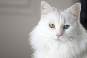 Bertrum, the yellow and blue eyed white cat