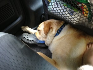 Yellow dog sleeping in car with nose in Croc